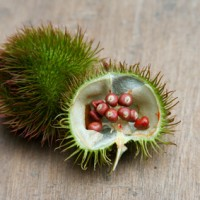 Annatto, open pod leaning on closed pod