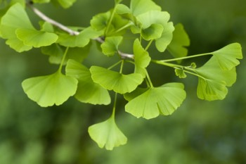 an analysis of effects of ginko biloba on a person Ginkgo biloba, commonly known as ginkgo or gingko these people should handle the seeds with care when the effects of ginkgo on pregnant women may include.