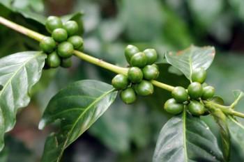 Grüne KaffeePflanze