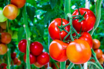 Tomatoes on a stem